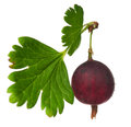 Red gooseberry Stock Image