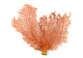Red Gorgonian or red sea fan coral isolated on white background Royalty Free Stock Photo