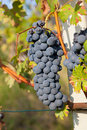 Red grape bunches nebbiolo variety of is used to produce the finest italian wines like barolo and barbaresco Stock Photos