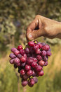 Red grape in hand of gardener Royalty Free Stock Images
