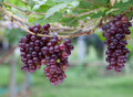 Red grape vine Stock Photo