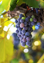 Red grape in a vineyard Royalty Free Stock Photos