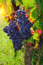 Red grapes bunch of ripe Royalty Free Stock Image