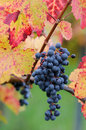 Red grapes bunch of ripe Stock Image