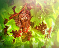 Red grapes purple grapes in vineyard Royalty Free Stock Image