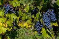 Red Grapes Ready for Harvest Royalty Free Stock Photo
