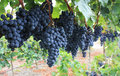 Red grapes ready to be harvested at a vineyard Royalty Free Stock Photos