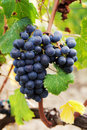 Red grapes sangiovese is the most widely cultivated grape italian sign in blends of hundreds of wines including some of the most Royalty Free Stock Photo