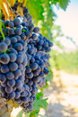 Red Grapes Tinta de Toro on the Vine in Molaleja del Vino, Zamora, Spain. Royalty Free Stock Photo
