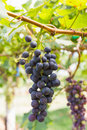 Red Grapes on the vine Royalty Free Stock Image