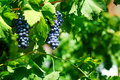Red grapes on vine. Royalty Free Stock Photo