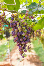 Red grapes on the vine in vineyard before harvest Royalty Free Stock Photo