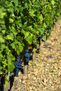 Red grapes vineyard bordeaux france Royalty Free Stock Photo
