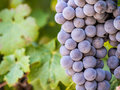 Red grapes in vineyard in Franschhoek, South Africa, close up Royalty Free Stock Photo