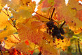 Red grapes in a vineyard with golden leaves Royalty Free Stock Images