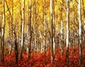 Red Grass Yellow Aspens Royalty Free Stock Photo