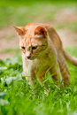 Red Greek stray cat in nature Stock Photo