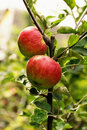 Red And Green Apples On The Tree