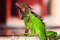 Red and Green Costa Rica Iguana Royalty Free Stock Photo