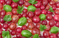 Red and green gooseberries with leaves as background Royalty Free Stock Photo