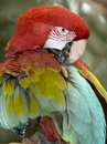 Red and green or green winged macaw bird parrot 3 Royalty Free Stock Photography