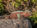 Red and Green Iguana Royalty Free Stock Photo