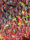 Red and green ivy. Royalty Free Stock Images