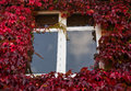 Red and green ivy surround windows on cottage growth of leaves white old brick or house Stock Photography