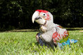 Red-and-green macaw (Ara chloroptera) chick Royalty Free Stock Photos