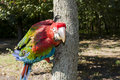 Red-and-green macaw (Ara chloroptera) on a tree Stock Image