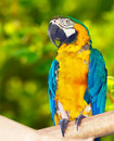 Red-and-green Macaw (Ara chloropterus) Stock Photography