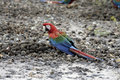 Red and green macaw ara chloropterus single bird on ground brazil Stock Photo