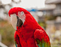 Red and green macaw a beautiful looks into the lens showing the powerful bill his head neck details scientific name ara Royalty Free Stock Photography