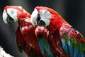 Red and green macaw bird in zoo Stock Photos