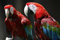 Red and green macaw bird in zoo Stock Images