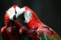 Red and green macaw bird in zoo Royalty Free Stock Images