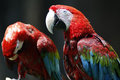 Red and green macaw bird in zoo Royalty Free Stock Photo