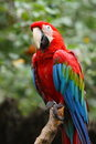 Red and green macaw parrot Royalty Free Stock Photo