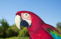 Red and green macaw at wildness closeup of Stock Images