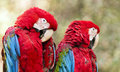 Red and green macaw the winged known also as the Stock Images