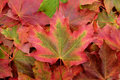Red and green maple leaf on a background of fall foliage Royalty Free Stock Photo