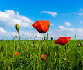 Red and green poppies on green field and blue sky with clouds Royalty Free Stock Photo