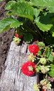 Red and green strawberries in the garden Royalty Free Stock Photo