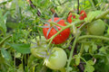 Red and green tomato organic plant Royalty Free Stock Image