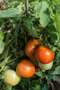 Red and green tomato organic plant Royalty Free Stock Photography