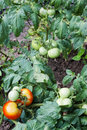 Red and green tomatoes growing Royalty Free Stock Images
