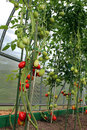 Red and green tomatoes ripening on the bush in a greenhouse of transparent polycarbonate Royalty Free Stock Images