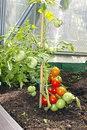Red and green tomatoes ripening on the bush in a greenhouse of transparent polycarbonate Stock Photos