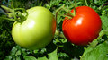 Red and green tomatoes two on vine Stock Photos