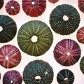 Colorful sea urchins close up on white translucent background Royalty Free Stock Photo